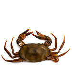Neko-soft-shelg-crab_97